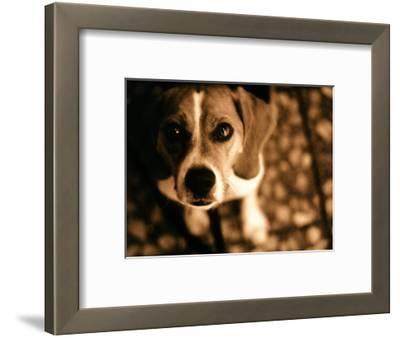 Close-up of Beagle Puppy