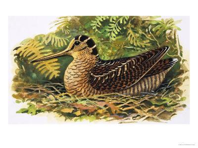 Looking at Nature: The Woodcock-R. B. Davis-Giclee Print