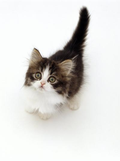 Looking Down on Domestic Cat, 7-Week Tabby and White Persian-Cross Kitten Looking Up-Jane Burton-Photographic Print