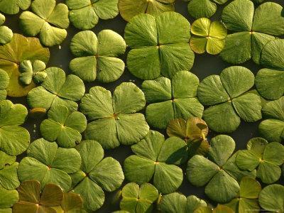 https://imgc.artprintimages.com/img/print/looking-down-upon-floating-aquatic-plants-that-look-like-shamrocks_u-l-p5wpdq0.jpg?p=0