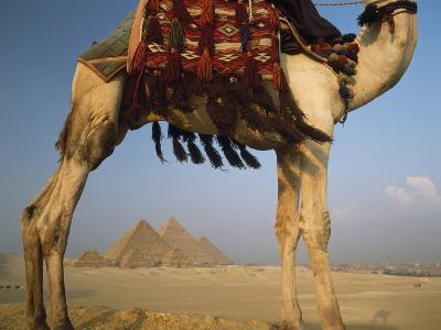 Looking under Camel to Great Pyramids of Giza-Design Pics Inc-Photographic Print
