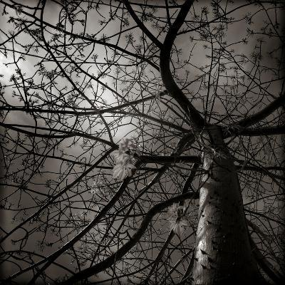 Looking Up at a Tree with Flowers-Luis Beltran-Photographic Print