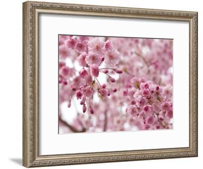 Looking Up at Flowering Branches of a Weeping Higan Cherry Tree-Darlyne A. Murawski-Framed Photographic Print