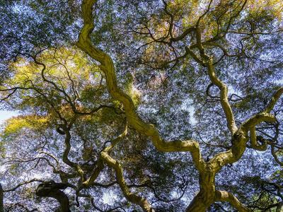 https://imgc.artprintimages.com/img/print/looking-up-at-the-sky-through-a-japanese-maple_u-l-q1gtn6a0.jpg?p=0
