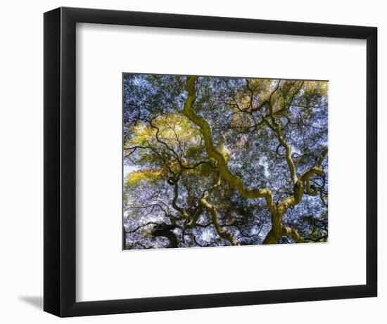 Looking up at the sky through a Japanese maple.-Julie Eggers-Framed Photographic Print