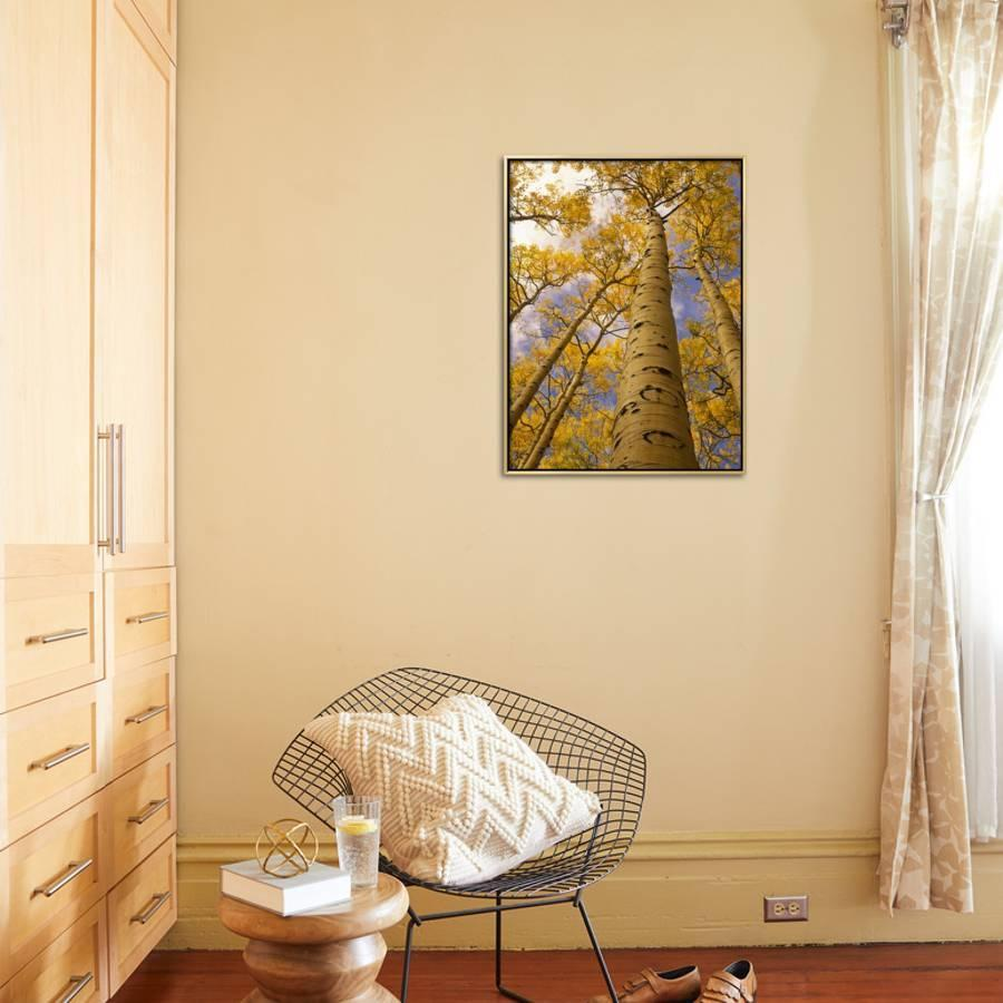 Looking Up at Towering Aspen Trees in Autumn Hues Framed Canvas ...