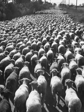 Huge Flock of Sheep Moving Slowly Down a Dusty Road Near Imperial Valley's Town of El Centro by Loomis Dean