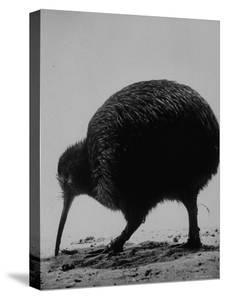 Kiwi Bird at San Diego Zoo by Loomis Dean