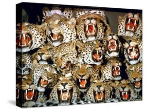Stuffed Tiger Trophy Heads of Big Game Hunters Are Piled Up in Paul Zimmerman's Taxidermy Shop by Loomis Dean