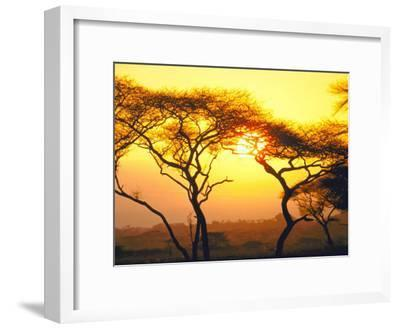 Tanganyika Thorn Trees with Brilliant Sunset in Background at Serengeti National Park
