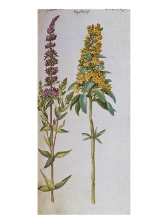 https://imgc.artprintimages.com/img/print/loosestrife-lythrum-salicaria-and-lysi-machia-punctata-from-camerarius-florilegium_u-l-pempds0.jpg?p=0