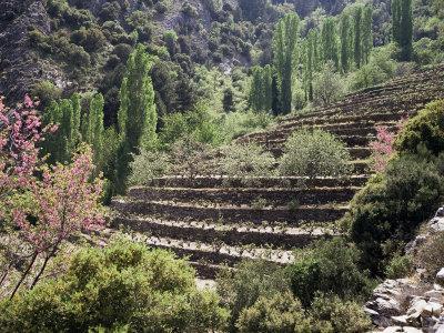 Terraced Vineyards, Island of Samos, Greek Islands, Greece