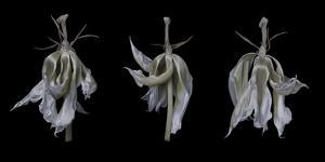 Dancing Iris by Lori Hutchison