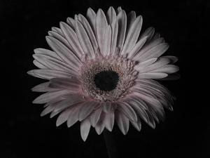 Gerber Daisy by Lori Hutchison