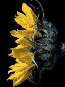 Sunflower by Lori Hutchison
