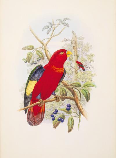 Lorius Tibialis-William Hart-Premium Giclee Print