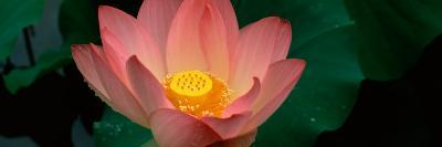 Lotus Blooming in a Pond--Photographic Print