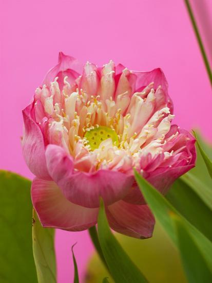 Lotus Blossom--Photographic Print