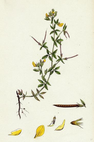 Lotus Diffusus Long-Podded Small Bird'S-Foot Trefoil--Giclee Print