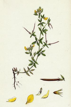 https://imgc.artprintimages.com/img/print/lotus-diffusus-long-podded-small-bird-s-foot-trefoil_u-l-pvf84w0.jpg?p=0