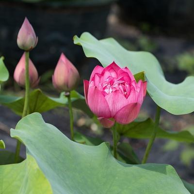 https://imgc.artprintimages.com/img/print/lotus-flower-and-lotus-flower-plants_u-l-q13fe580.jpg?p=0
