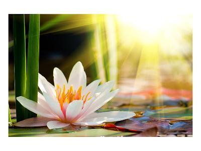 Lotus Flower Background--Art Print