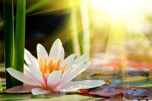 Beautiful lotus giclee prints artwork for sale posters and prints lotus flower background mightylinksfo