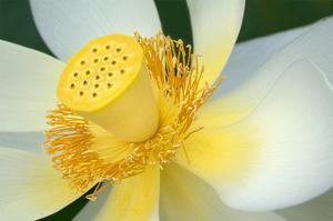 Lotus Flower Detail