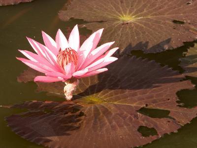 Lotus Flower in the Morning Light, Sukhothai, Thailand-Gavriel Jecan-Photographic Print