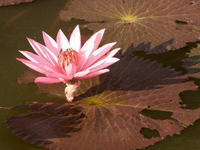 https://imgc.artprintimages.com/img/print/lotus-flower-in-the-morning-light-sukhothai-thailand_u-l-p3vkwn0.jpg?p=0