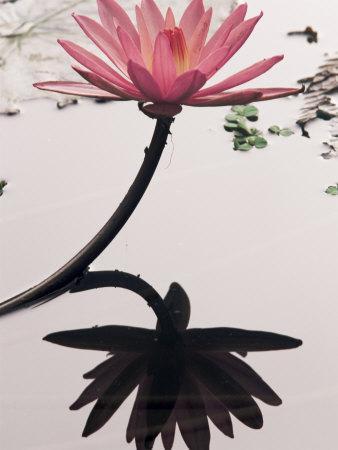 https://imgc.artprintimages.com/img/print/lotus-flower-luang-prabang-laos-indochina-southeast-asia-asia_u-l-p2lszn0.jpg?p=0