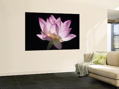 Lotus Flower (Nelumbo Lutea)-Holger Leue-Wall Mural