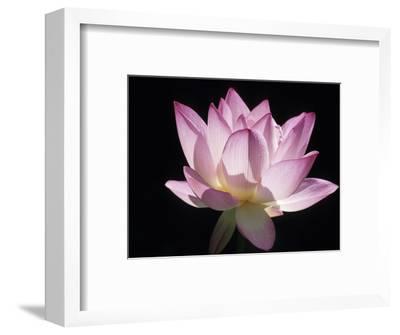 Lotus Flower (Nelumbo Lutea)-Holger Leue-Framed Photographic Print