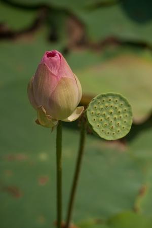 https://imgc.artprintimages.com/img/print/lotus-flowers-iii_u-l-q10pqo00.jpg?p=0