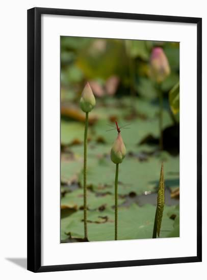 Lotus Flowers IV-Erin Berzel-Framed Photographic Print