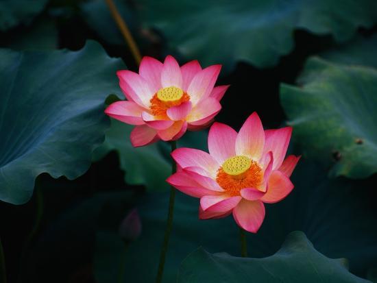 Lotus Flowers-Keren Su-Photographic Print