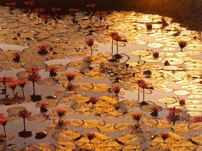 https://imgc.artprintimages.com/img/print/lotus-pond_u-l-eo7x90.jpg?artPerspective=n