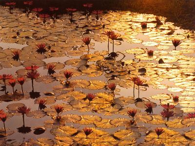 Lotus Pond-Bruno Baumann-Art Print