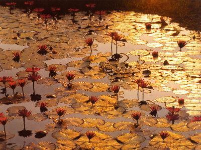 https://imgc.artprintimages.com/img/print/lotus-pond_u-l-eo7x90.jpg?p=0