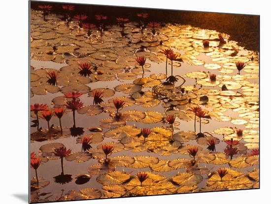 Lotus Pond-Bruno Baumann-Mounted Art Print