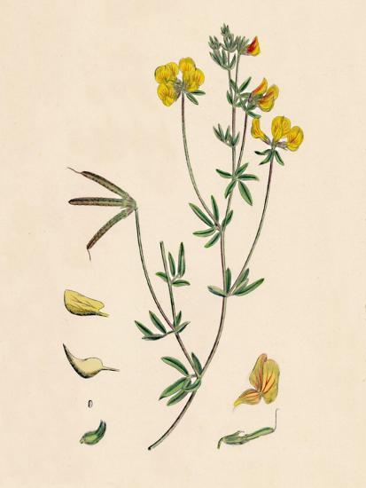 'Lotus tenius. Slender Bird's-foot Trefoil', 19th Century-Unknown-Giclee Print