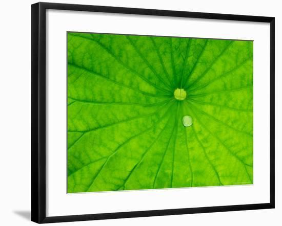 Lotus with Dew Drop, North Carolina, USA--Framed Photographic Print