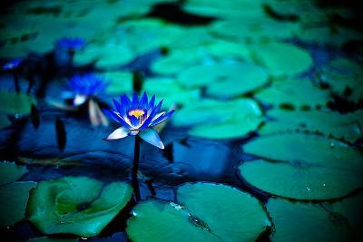 Lotus-moaan-Photographic Print