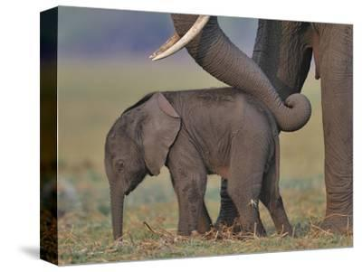 African Elephant (Loxodonta Africana) Cow Reassuring Young Calf With Trunk, Chobe River, Botswana