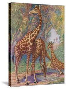 Three Giraffes by Louis A^ Sargent