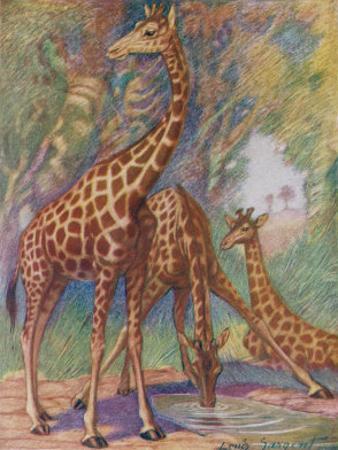 Three Giraffes by Louis A^ Sargent