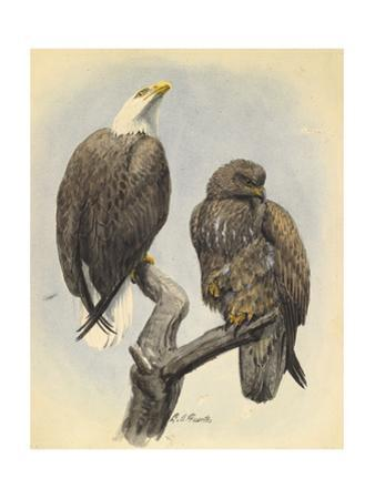 A Male and Younger Bald Eagle Perch on a Tree Branch