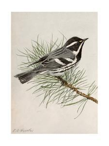 A Painting of a Black-Throated Gray Warbler, Dendroica Nigrescens by Louis Agassi Fuertes