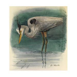 A Painting of a Great Glue Heron Hunting for Fish in Shallow Water by Louis Agassi Fuertes