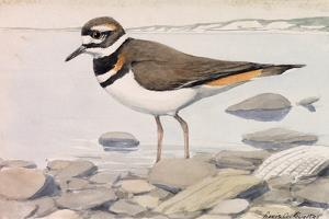 A Painting of a Killdeer in Shallow Water by Louis Agassi Fuertes
